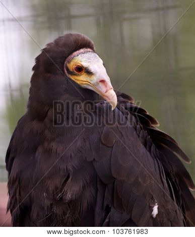 Close-up Of A Turkey Vulture