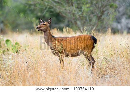 Sika Deer Doe