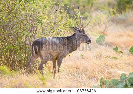 Sika Deer Buck