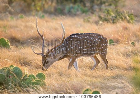 Wild South Texas Axis Chital or spotted Deer Buck. poster