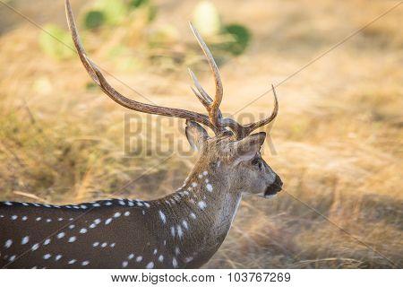 Axis Deer Close Up