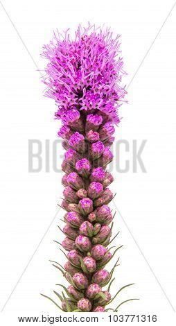 Magenta Liatris flower blazing star isolated on white background poster