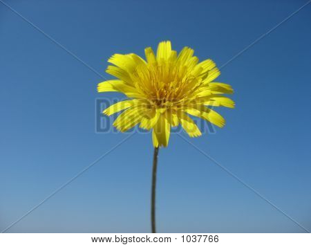 Yellow Flower And Blue Sky
