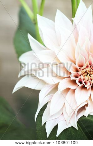 Dahlia Full Bloom