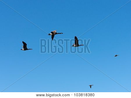 Geese With Duck Leading Flight