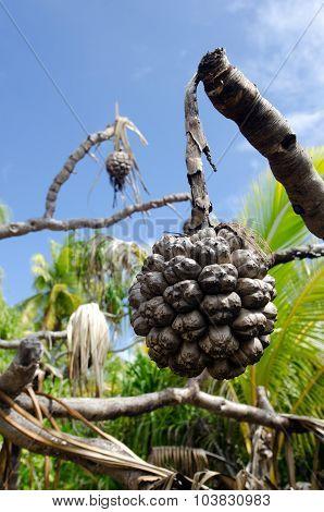 Morinda Citrifolia Tropical Tree