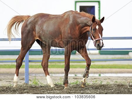 Beautiful filly Trakehner breed in feedlot paddock horses