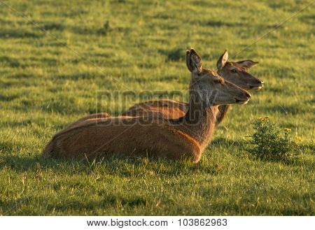 Couple of female red deer