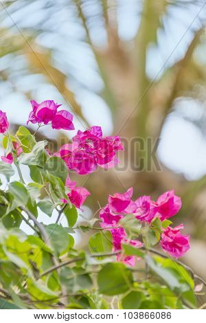 Pink bougainvillea flowers in a tropical garden poster