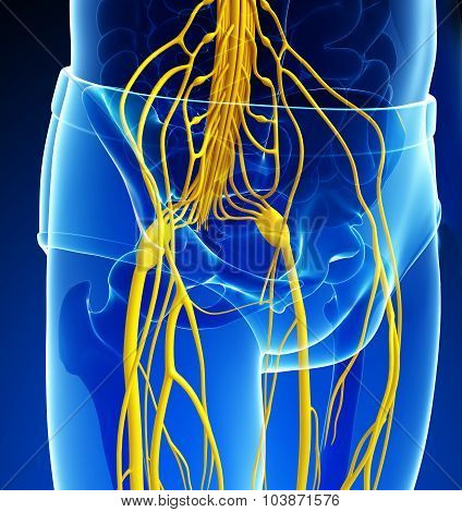 Male Pelvic Girdle Nervous System Artwork
