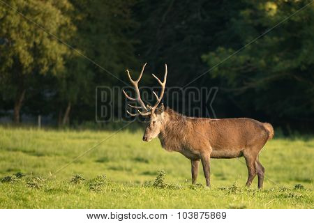 Red deer stag looking to the ground