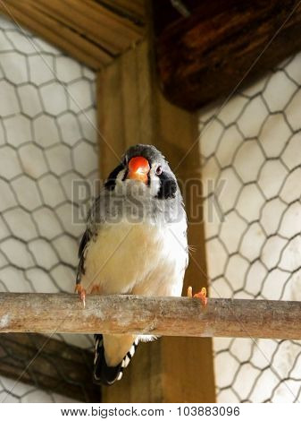 Black-cheeked female Zebra Finch