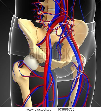 Human Pelvic Girdle Circulatory System