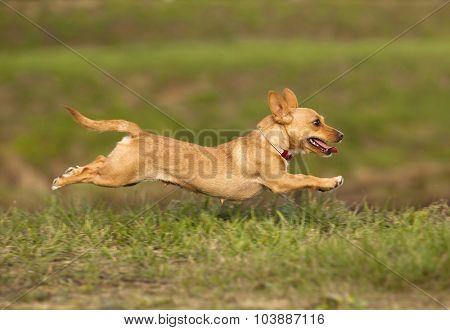 Portuguese Podengo dog