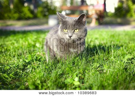 Grey Cat Sits On A Green Lawn