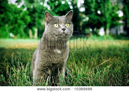 Gray British Cat Sits On A Green Lawn
