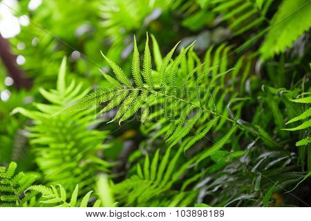 Fern Shrubs In Rainforest - Pteridium Aquilinum