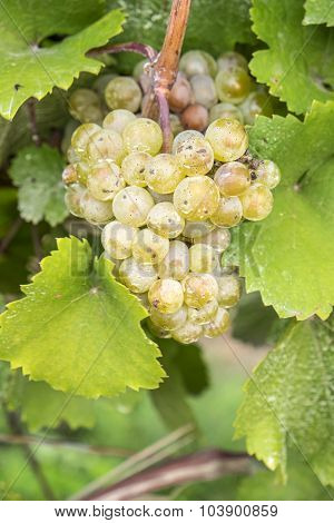 Riesling White Wine Grapes