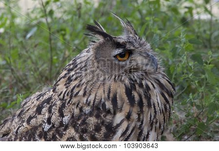Spotted Owl  L Sitting In The Grass