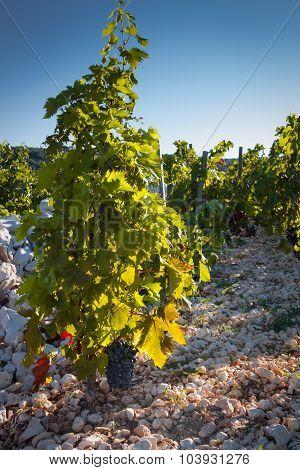 Primosten Babic Vineyard