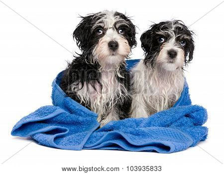 Two Cute Havanese Puppies After Bath Is Sitting On A Blue Towel