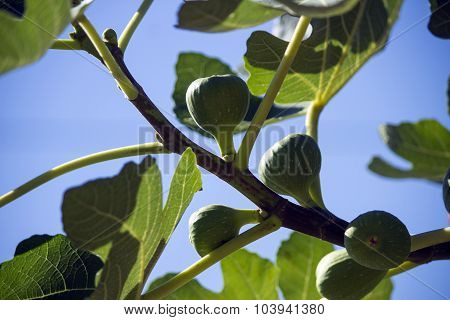 Fig Tree Bearing Fruits