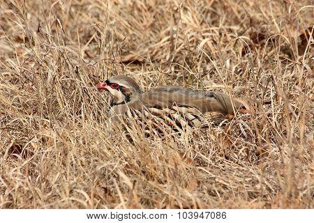 Chukar Bird Hiding in Grass