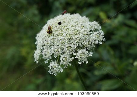 A pair of jagged ambush bugs (Phymata sp.) in amorous embrace on the flower of a Queen Anne's Lace (Daucus carota), also called the wild carrot. poster