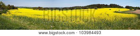 Panoramic View Of Flowering Field Of Rapeseed