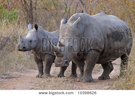 White Rhinocerous With Calf, Ceratotherium Simum #1