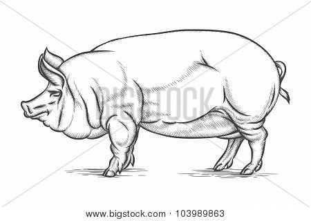 Engraving big pig or hog vector hand drawn illustration