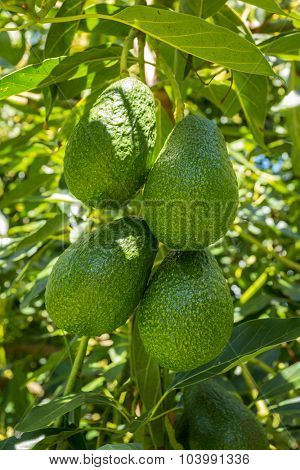 Hass avocados hanging on tree