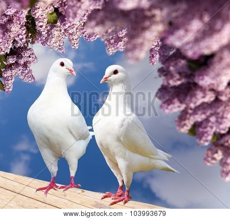 Two White Pigeons On Perch With Flowering Lilac Tree