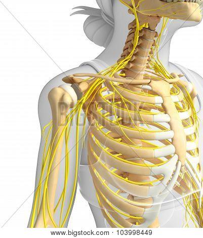 Female Ribcage And Nervous System Artwork