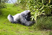 Large male silver back gorilla searching the undergrowth poster