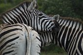 Two zebra's embracing one another in South Africa poster