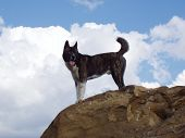 Akita Inu on rock cliff against sky poster
