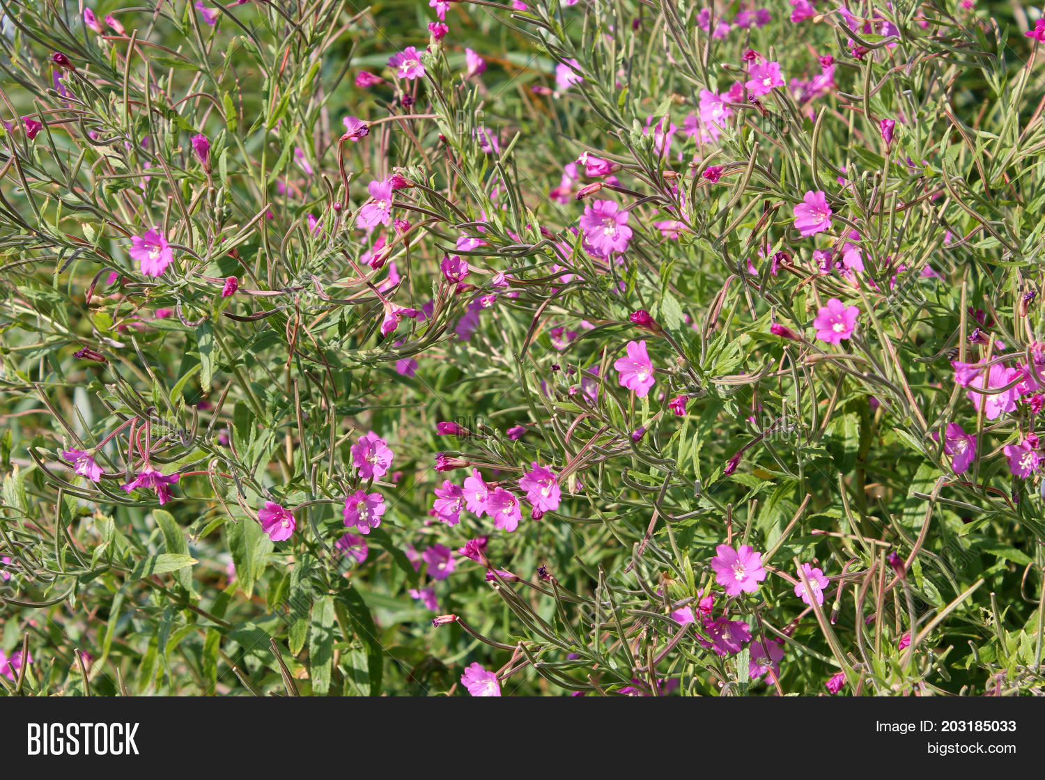 Great Hairy Willowherb Image Photo Free Trial Bigstock