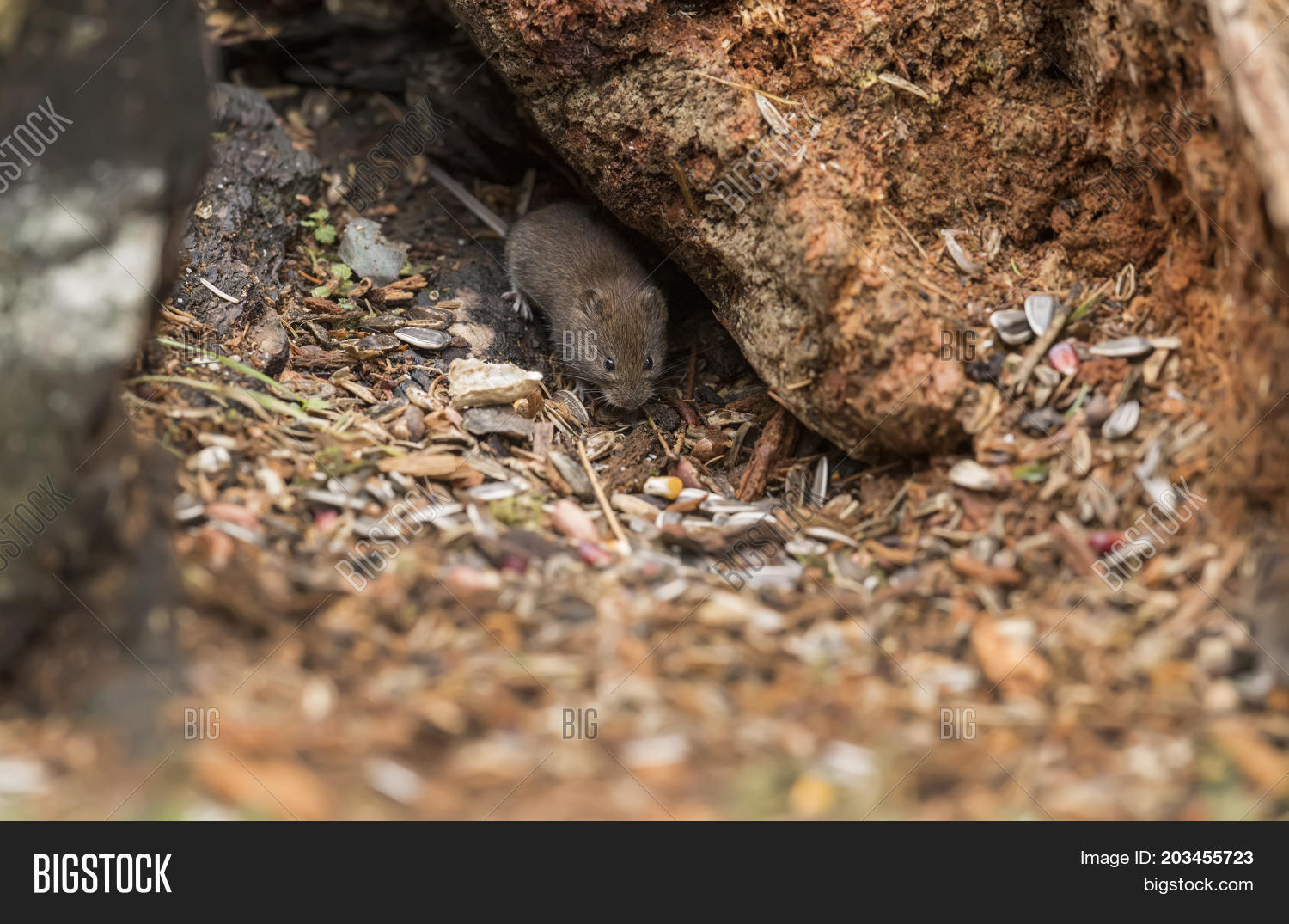 Vole On Forest Floor Image Photo Free Trial Bigstock