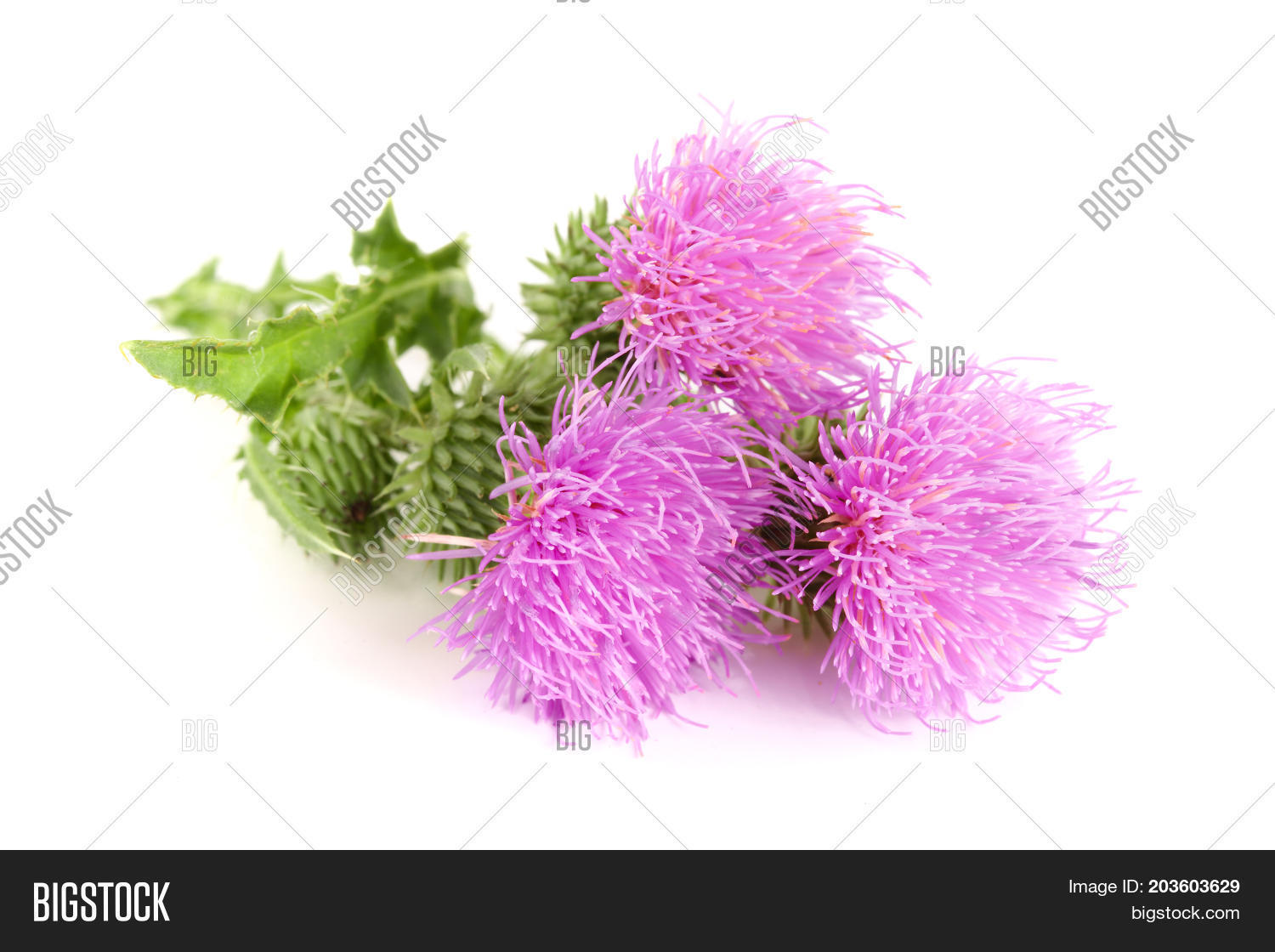 Flower Thistle Image Photo Free Trial Bigstock