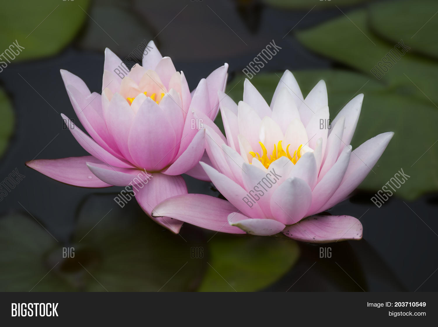 Two Pink Lotus Flowers Image Photo Free Trial Bigstock