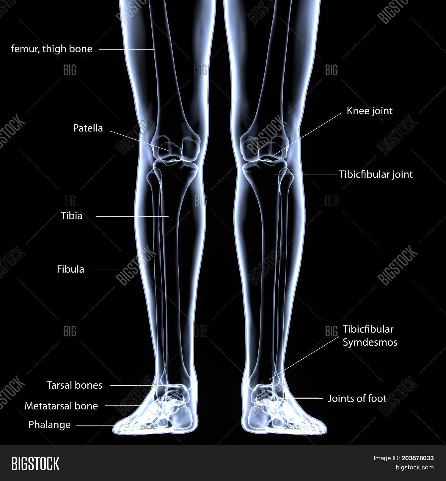 Human Foot Anatomy Illustration . Image & Photo | Bigstock