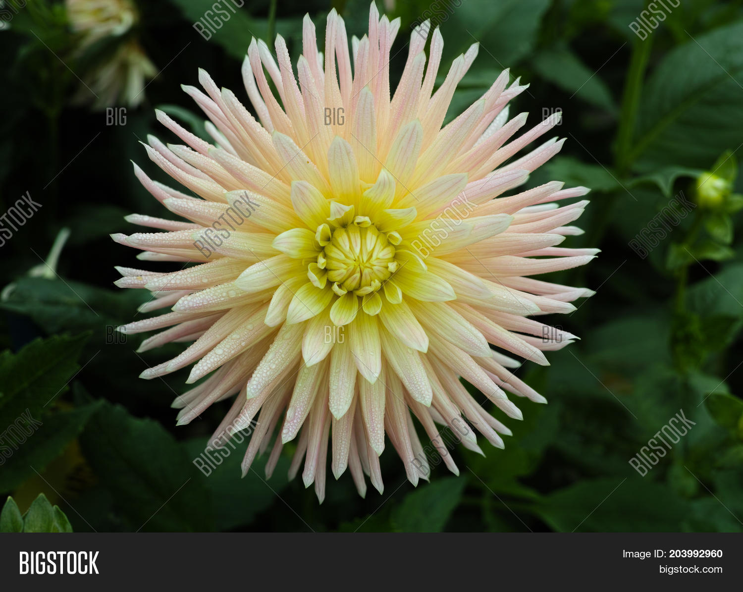 White dahlia flower image photo free trial bigstock white dahlia flower beautiful bouquet or decoration from the garden izmirmasajfo