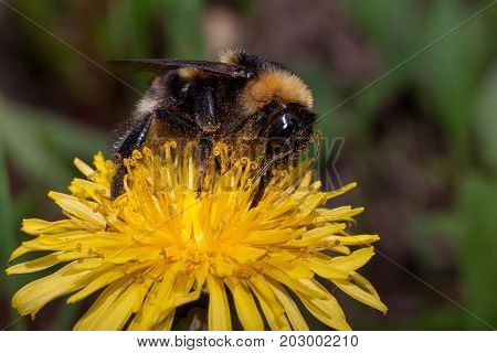 Bumblebee gathers nectar from a dandelion flower. Animals in wildlife.
