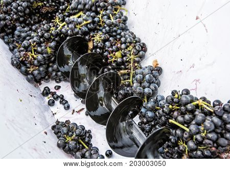 Bunches of grapes in vine press. Autumn harvest. Vintage theme.