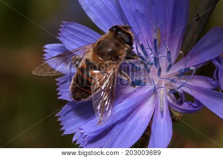 Hoverfly is sitting on a purple flower. Wild animals.