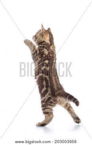 rear view of tabby-cat kitten standing on legs isolated