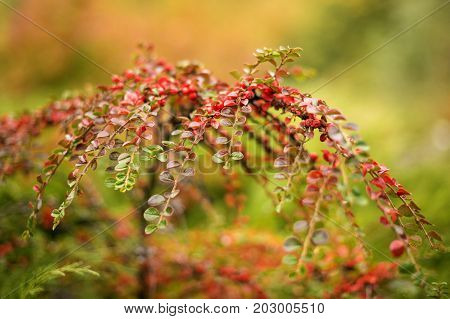 A Cotoneaster bush with red berries on branches, autumnal background. Closeup colorful autumn bushes in the park