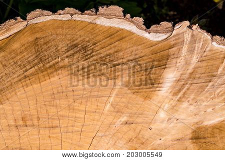 Stump tree felled - section of the trunk with annual rings. Slice wood.