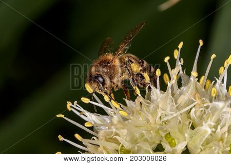 European Honey Bee Honey Bee Honeybee Bee